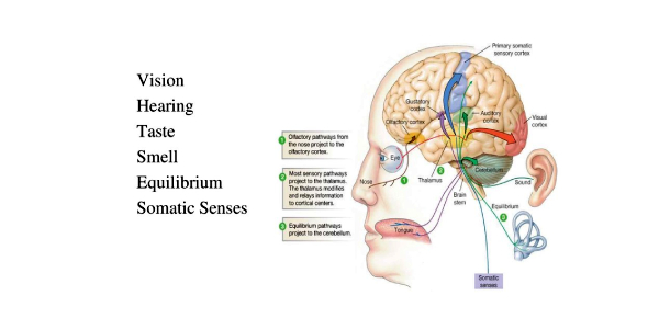The Eye And Ear: Sensory System Trivia Quiz
