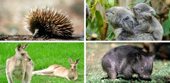 Australian Animals: Can You Identify? Quiz