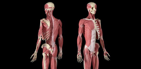 Bones And Muscles Test: Quiz!
