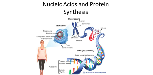Biology Quiz On Nucleic Acids And Protein Synthesis!