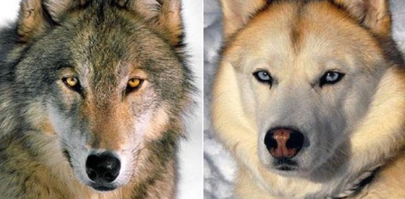 Wolf Quiz: What Type Of Wolf Are You?