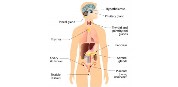 Endocrine System Questions: Test! Quiz