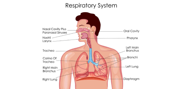 Respiratory System: Multiple Choice Question
