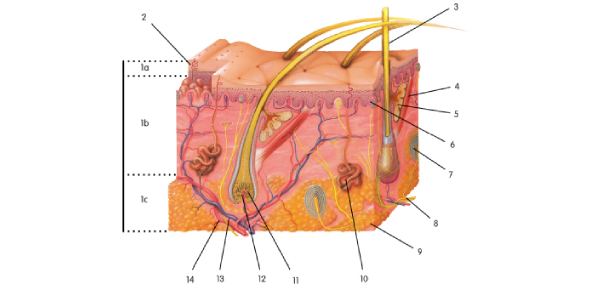 Integumentary (Skin) Practice Quiz