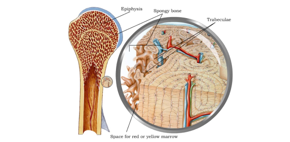 Anatomy And Physiology Questions - The Skeletal System: Bone Tissue