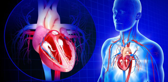 Trivia: The Cardiovascular System Quiz!
