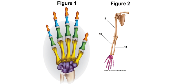 The Bones Of The Hand And ARM