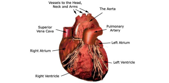 Cardiovascular System Quiz Exam: Trivia!