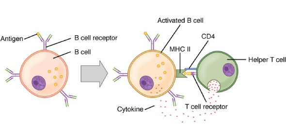 Biology Quiz: Antigens And B Cells