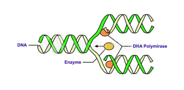 Quiz: How Well You Know DNA Replication?