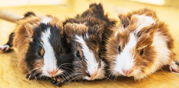 Guinea Pig Breeds Quiz