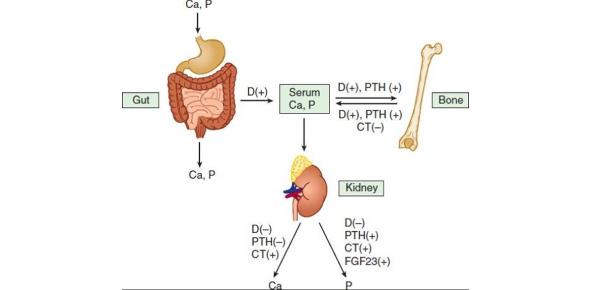 Pharm Bone Mineral Homeostasis