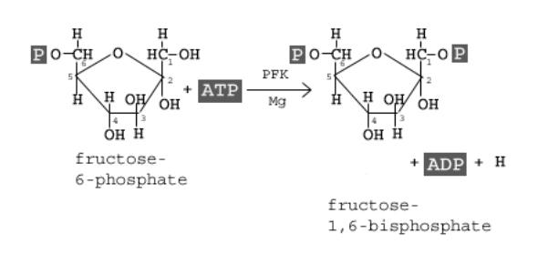 Quiz On The Mechanics Of Glycolysis