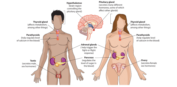 BRS Endocrine Physiology Quiz: Trivia!