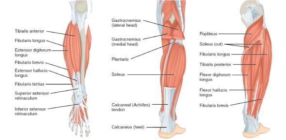 Anatomy Muscle Of Lower Limb