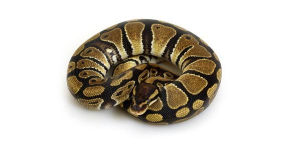 Ball Python Trivia Quiz