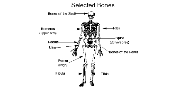 A&p Chapter 6 Self Quiz - The Skeletal System: Bone Tissue
