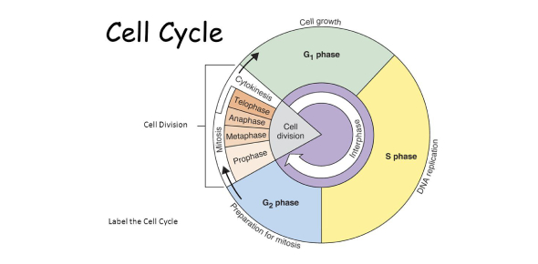 Test On The Cell Cycle! Trivia Quiz