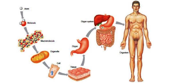 Organization Of The Human Body Test