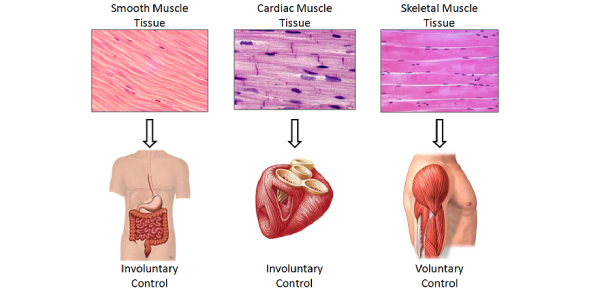 Anatomy And Physiology Questions - Muscle Tissue