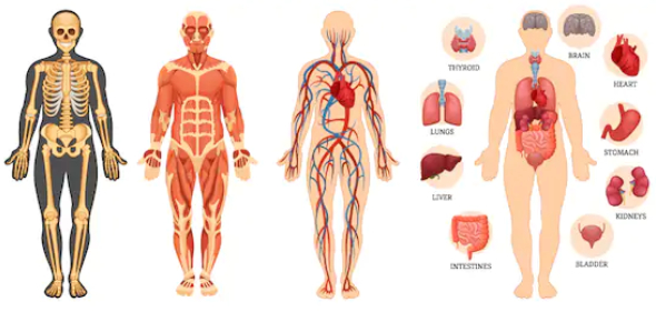 The Human Body: Trivia Facts And Questions On Anatomy And Functions!