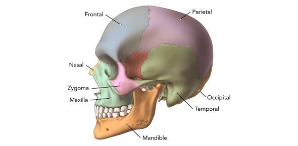 Cranial Foramen: Skull Anatomy Quiz! Trivia