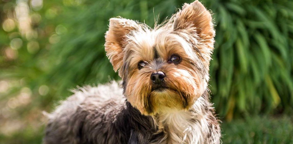 Yorkshire Terrier Ultimate Facts: Quiz!