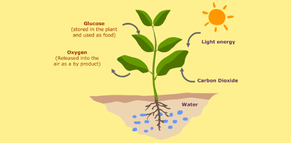 Quiz: Photosynthesis In Green Plants!