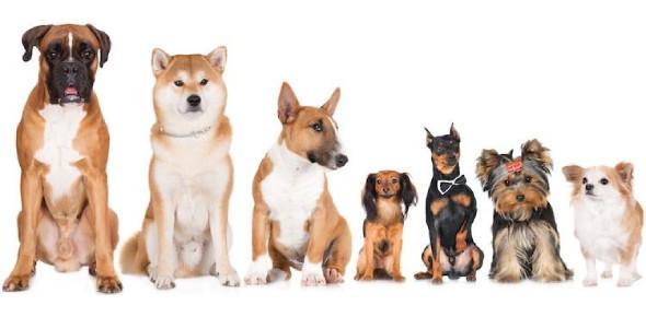 Dog Breed Identification Quiz