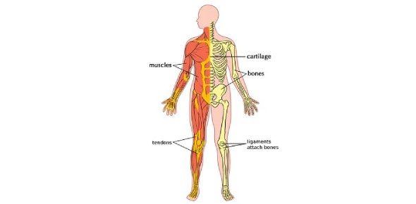 Musculoskeletal System Quiz Questions: Trivia!