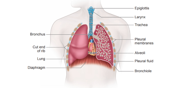 A Test On Respiratory System: Quiz!