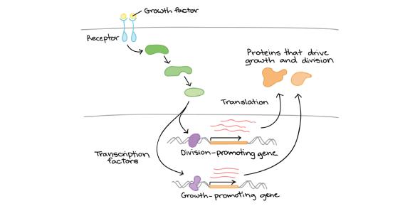 The Regulation Of Gene Expression! Trivia Quiz