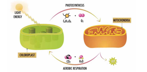 Science Quiz: Photosynthesis And Cellular Respiration!