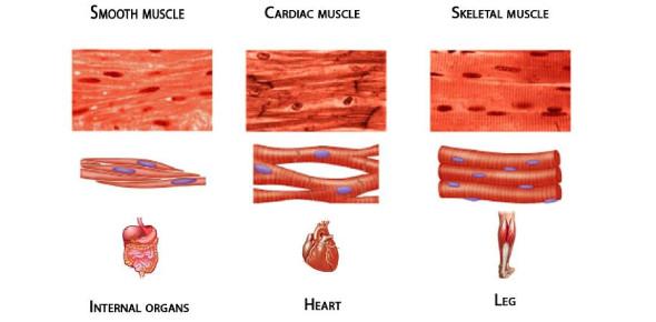 Histology - USMLE- Muscle Tissue