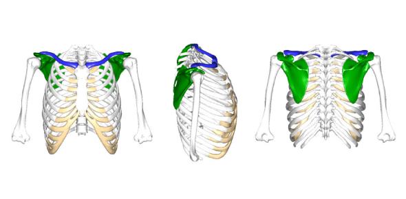 Shoulder Girdle Anatomy Quiz: Test!