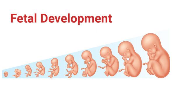 Fetal Development Quiz