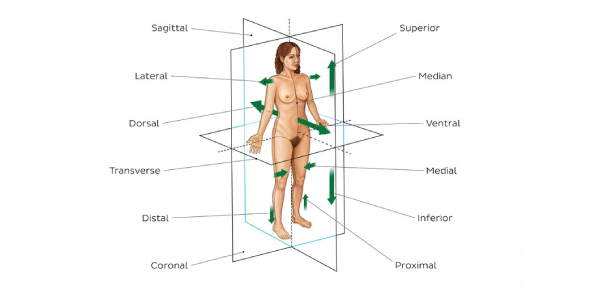 Basics Of Anatomy Quiz: Trivia Questions!