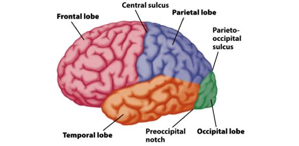 Neuroanatomy Exam: MCQ Trivia Quiz!