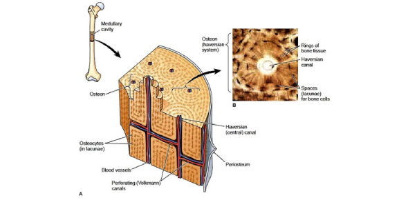 Bone Tissue Trivia Questions: Quiz!