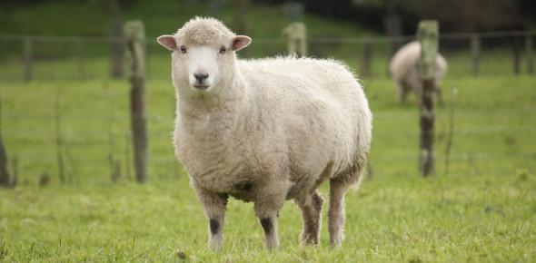 Interesting Sheep Facts Quiz: Trivia