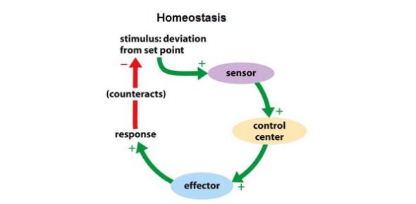 GCSE AQA Biology Test: Homeostasis! Trivia Quiz
