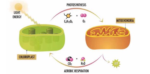 Practice- Photosynthesis & Cellular Respiration
