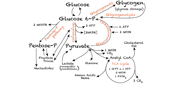 Carbohydrate Metabolism Lecture Questions