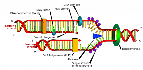 This Is A Quiz To See What You Know About DNA Replication