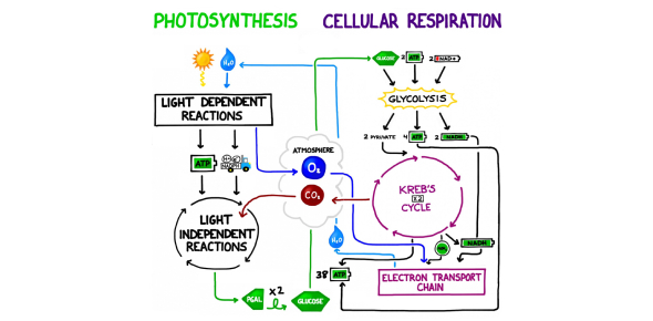 Trivia: Quiz On Photosynthesis And Cellular Respiration!