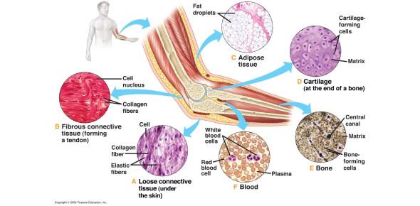 Anatomy Of Tissues! Trivia Questions Quiz