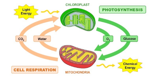Botany Quiz: Photosynthesis And Cell Respiration
