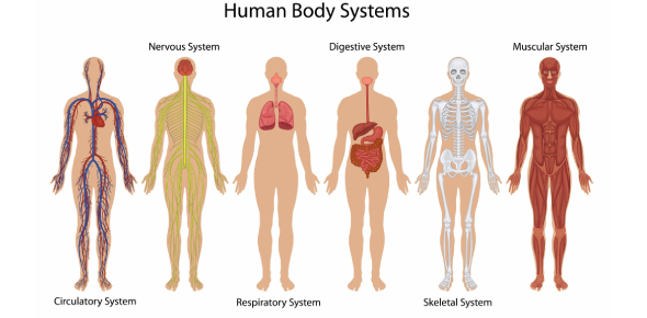 Quiz: Systems Of The Human Body! Trivia