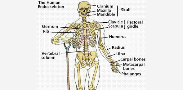 Review Of Bones, Joints, And Skeleton