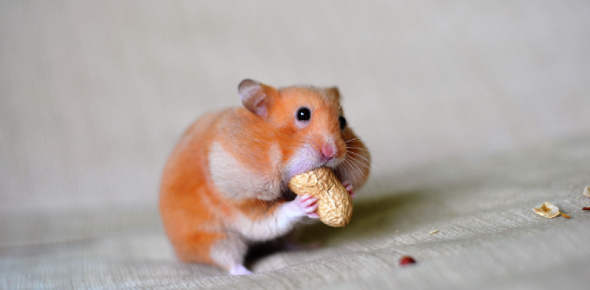 Which Hamster Is The Right One For Me?
